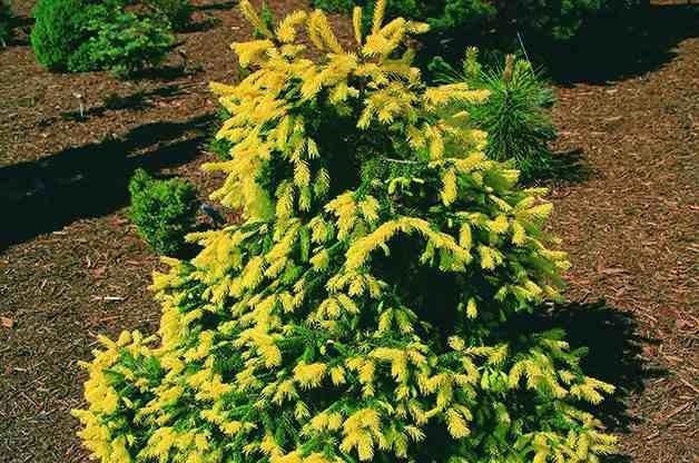 Top 10 dwarf conifers small space gardening birds and for Dwarf trees for small gardens