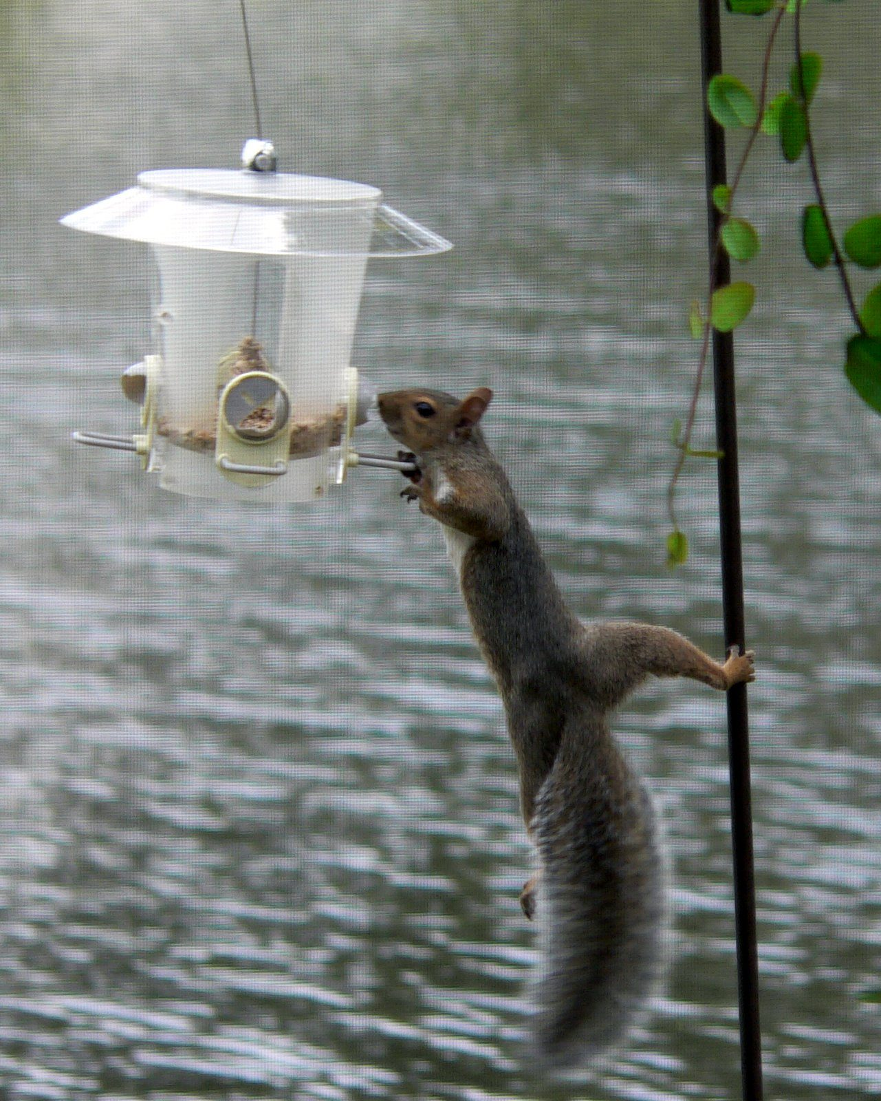 Safflower Seed A Possible Squirrel Deterrent Birds And