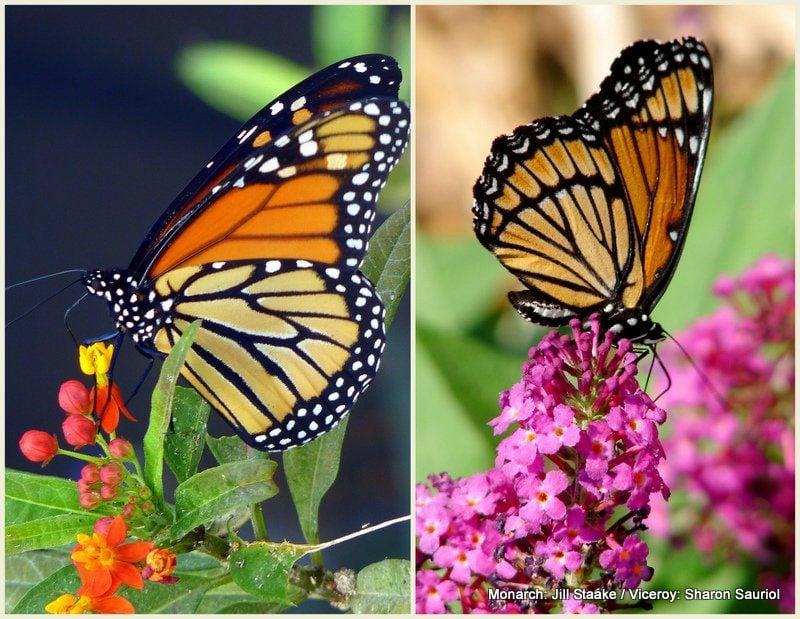 viceroy butterfly vs monarch
