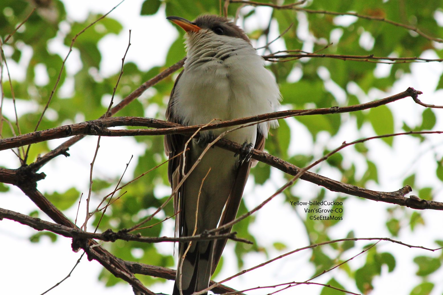 This One Is A Yellow Billed Cuckoo And You Can Tell It Because Aha Has Yellowish Bill Yes Black Cuckoos Have Blackish Bills