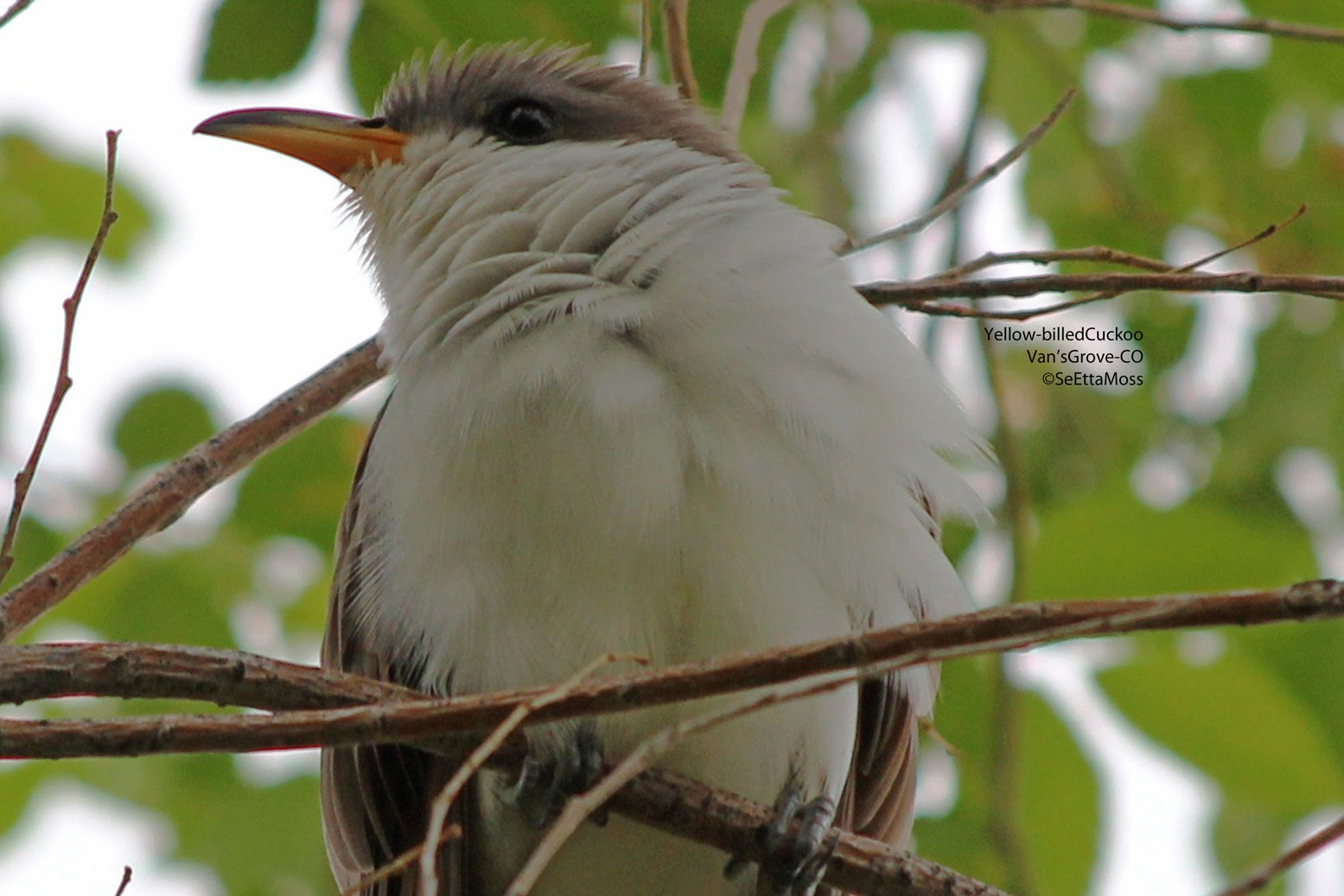 Realize That There Really Are Birds Called Cuckoos We Have Two Species Of Native In North America The Yellow Billed Cuckoo And Black