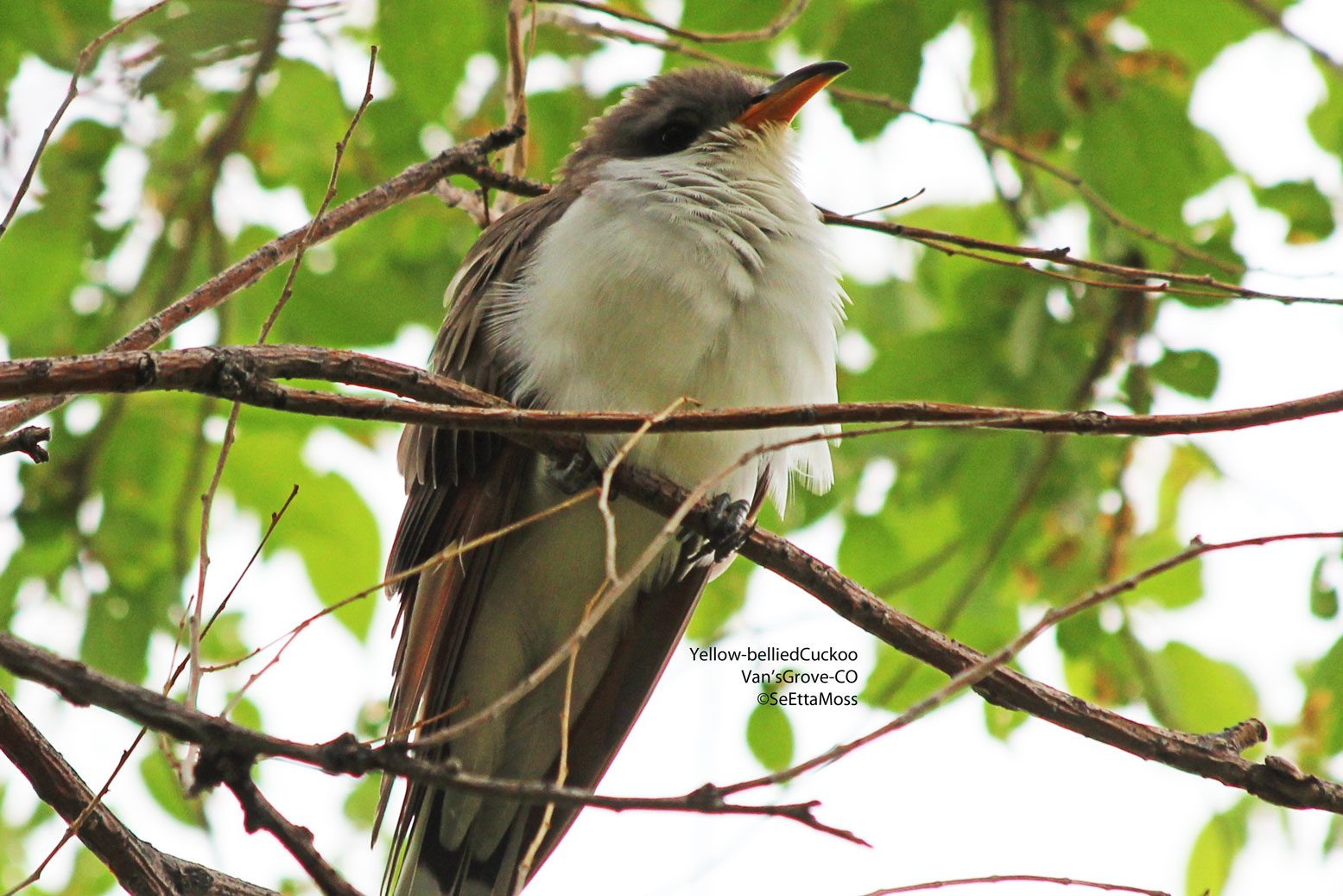Cuckoos Theyre Real Birds