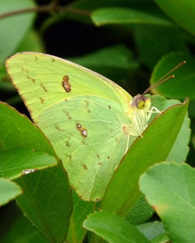 Cloudless Sulphur in Central Florida, by Jill Staake