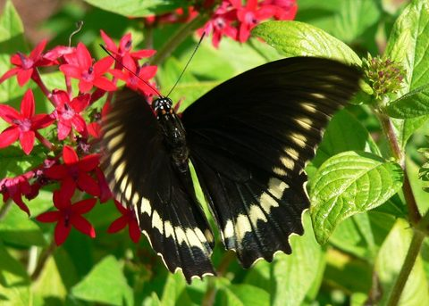 Polydamas Swallowtail in Central Florida by Jill Staake
