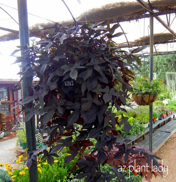 Black Sweet Potato Vine
