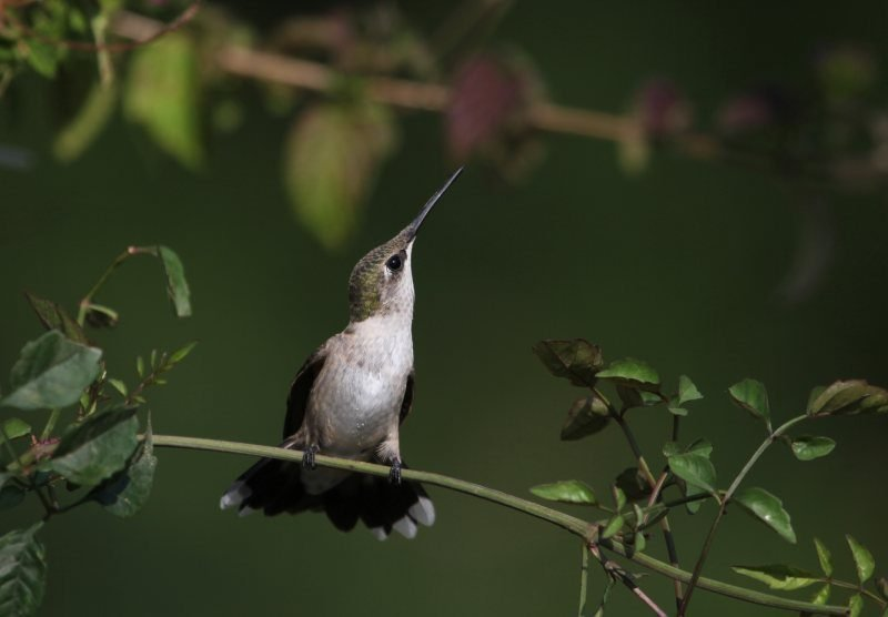 Perched Hummingbird by Connie Etter