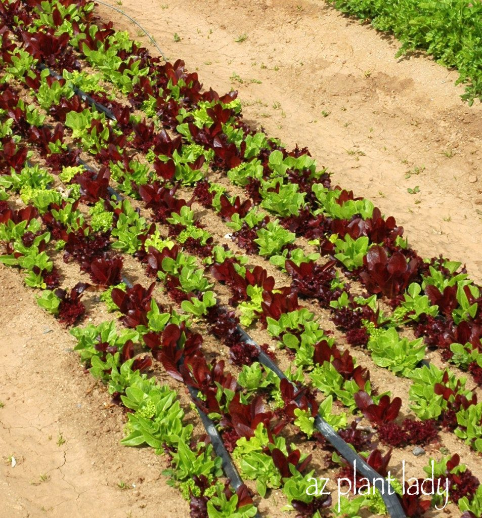 the gallery for gt red potato plant leaves