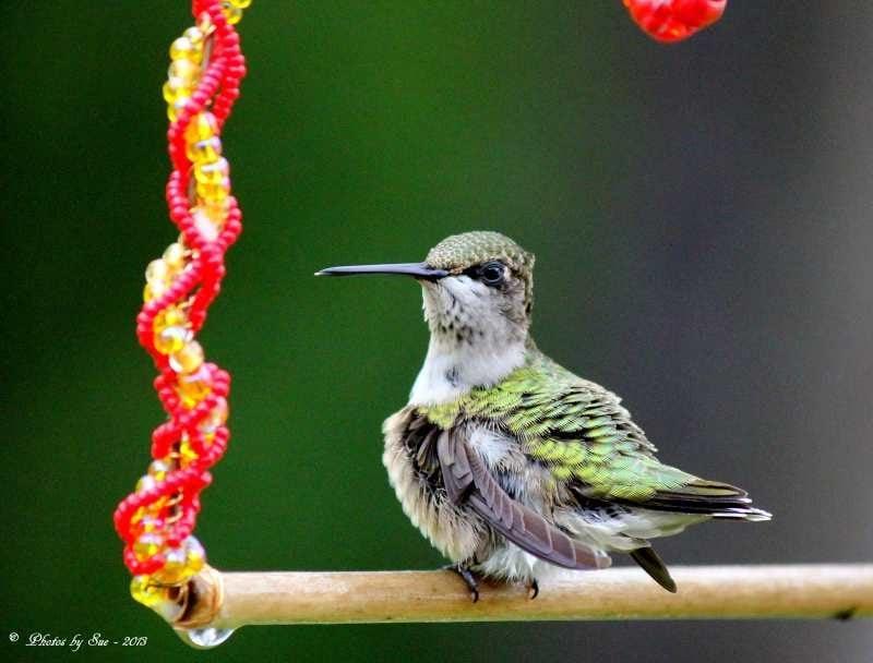 Hummingbird by Linda Sue Mohrmann