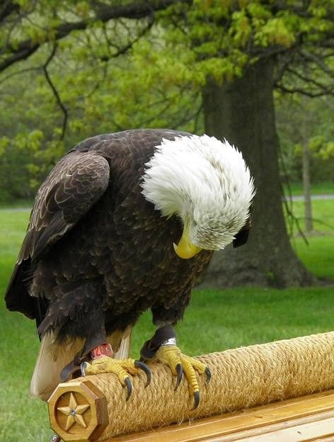 Image result for sad eagle