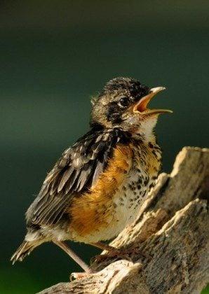 American Robin, Fledgling