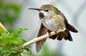 Hummingbirds in winter