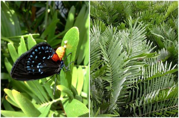 Atala and Coontie by Kristen Gilpin