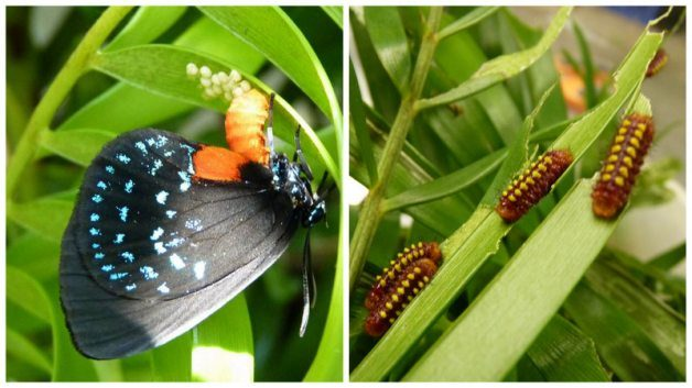 Atala Hairstreak: A Butterfly Success Story - Birds and Blooms