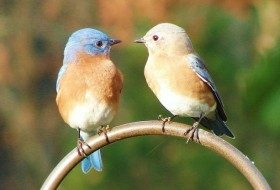 Attracting Bluebirds: Tips and FAQs