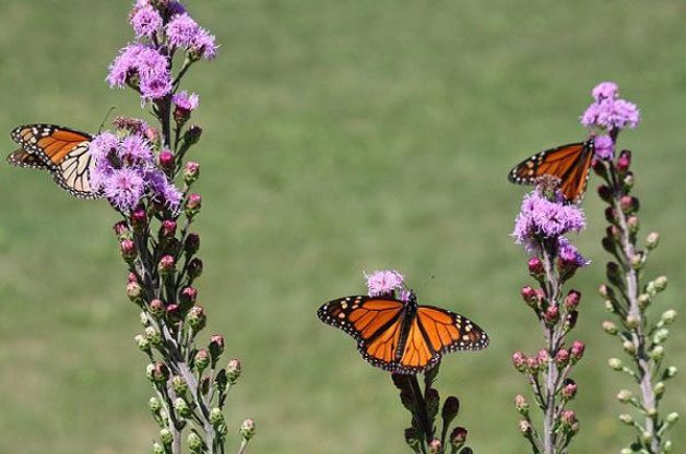 Attracting Butterflies With Fuzzy Flowers