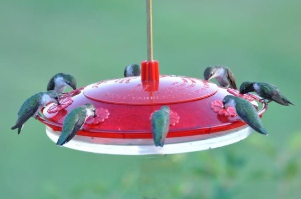 Attracting Hummingbirds FAQ