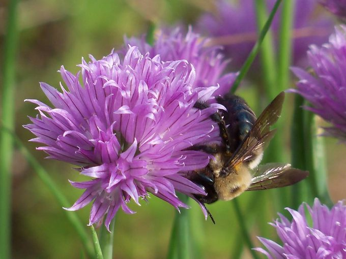bumblebee on chives blossom