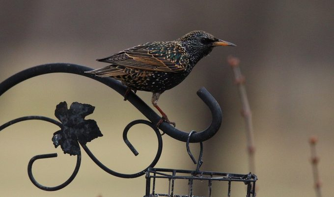 how to get rid of grackles, blackbirds and starlings