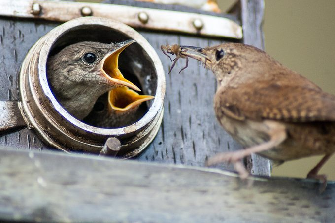 attract nesting birds, house wren