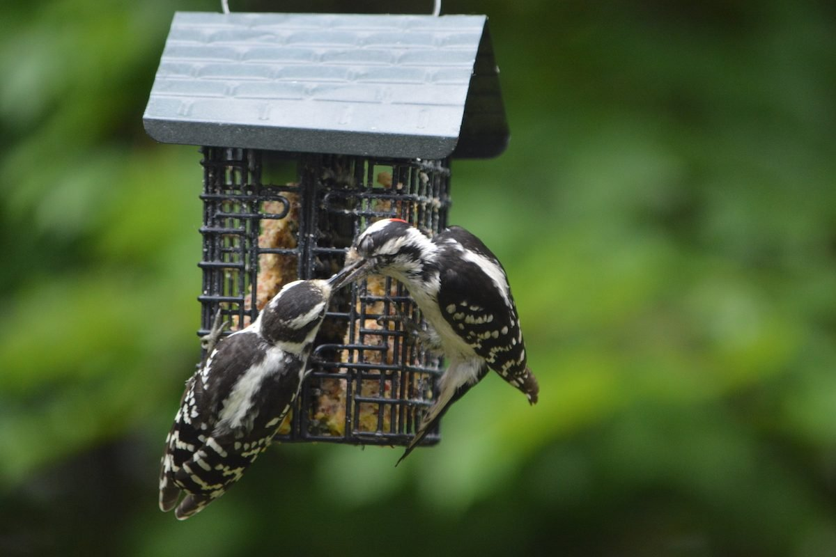 Downy woodpecker at suet feeder