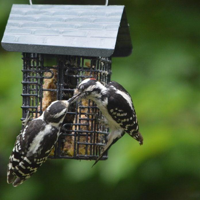 Downy woodpecker at suet feeder