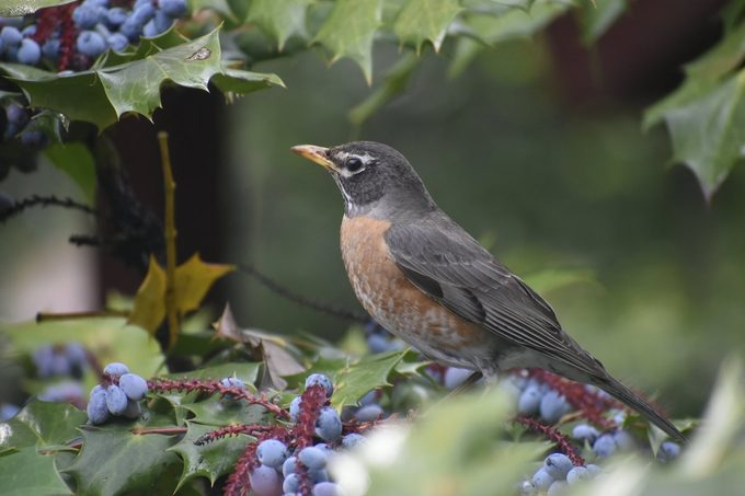 robin in a holly tree, birdscaping