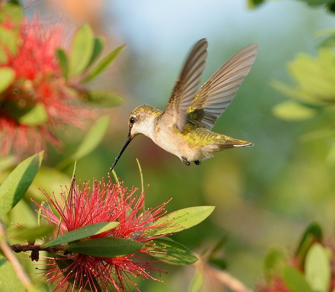 hummingbird at red flowers