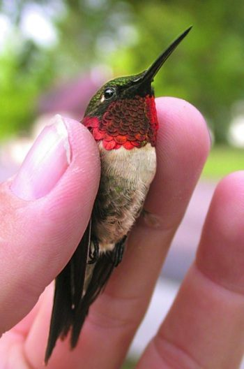 Banding Hummingbirds