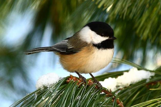 Black Capped Chickadee Birds And Blooms