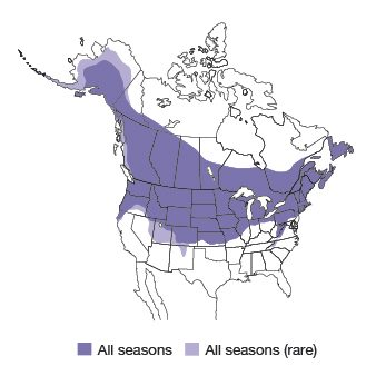 Black-capped Chickadee Bird Species