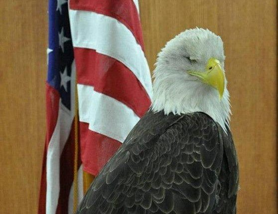 Blind eagle with flag