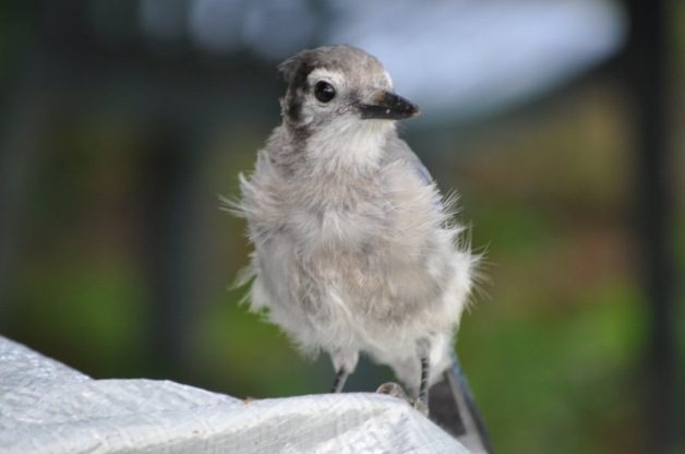 Blue Jay, juvenile