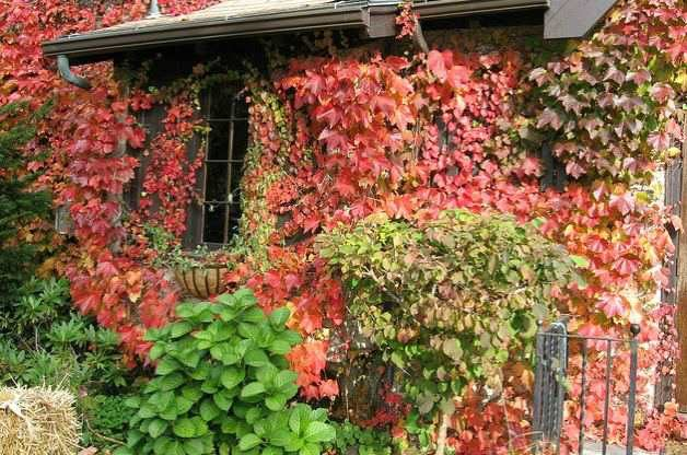 Boston Ivy in Fall Color