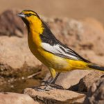 How to Identify Bullock's Orioles