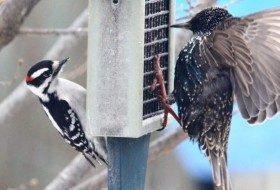 Bully Birds at Feeders