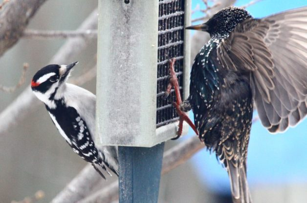 How To Get Rid Of Birds In Backyard bully birds at feeders - birds and blooms