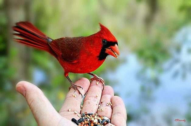 Northern Cardinal feeding from hand