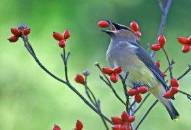 Dogwood Trees to Attract Birds