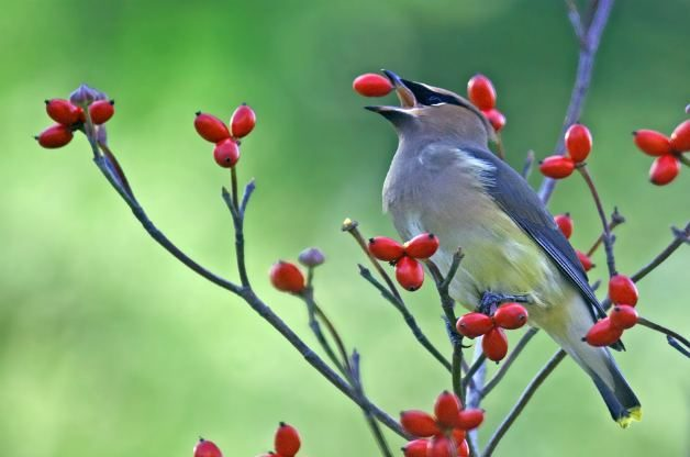 Cedar waxwing eating dogwood berries