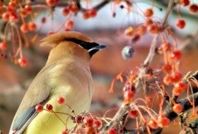 Cedar waxwing with berries