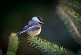Attract Birds with Dwarf Conifers