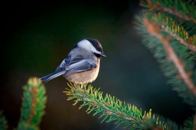 Chickadee in pine tree
