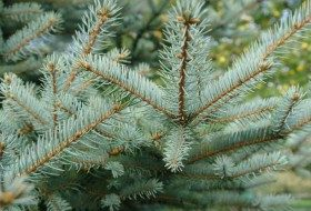 Best Conifers for Landscapes