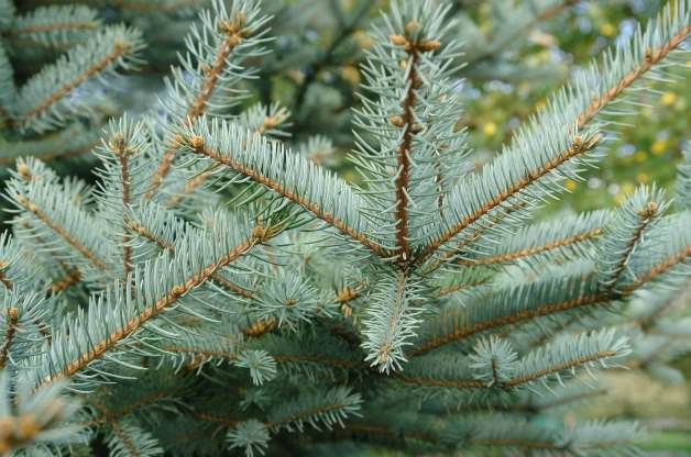 types of Conifer trees