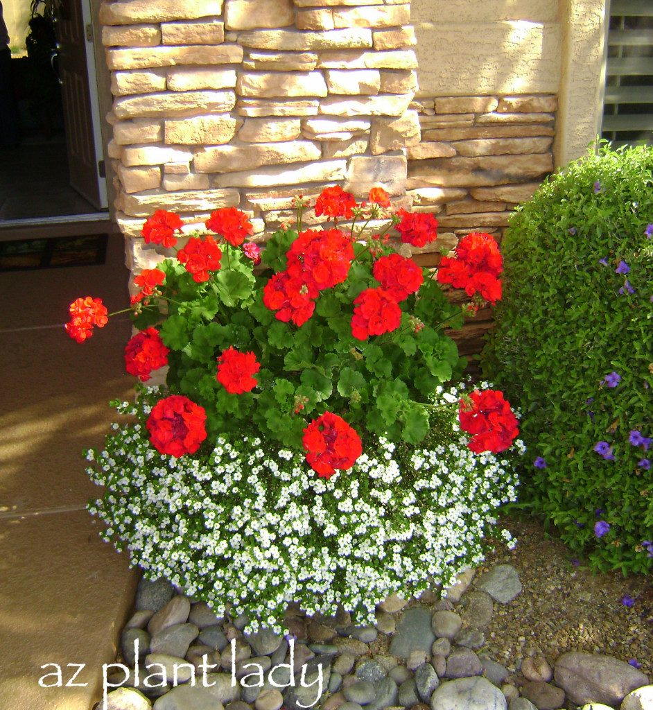 Say goodbye to summer with fall blooming annuals birds and blooms geraniums and bacopa izmirmasajfo