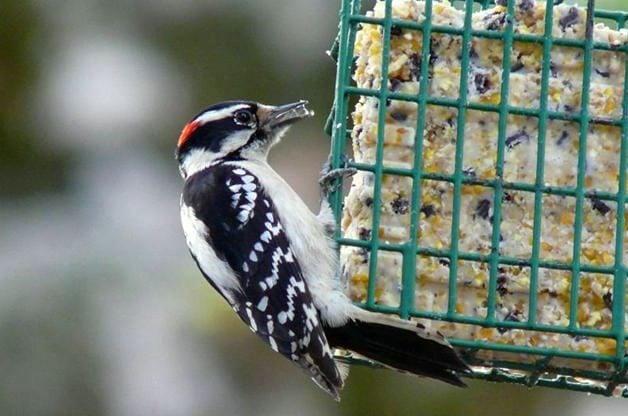 Wild Bird Food, Suet, Nectar, Seed, Feed, Mealworms