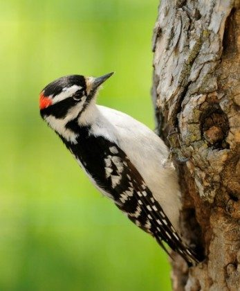 Pests: Downy Woodpecker