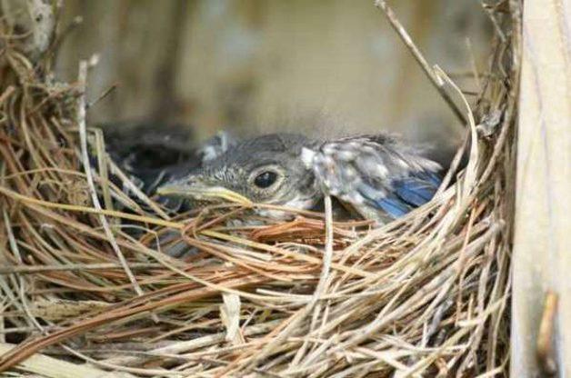Eastern Bluebird Nestling