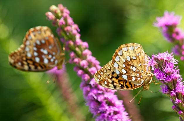 Fritillaries on Liatris by Jodi Grove
