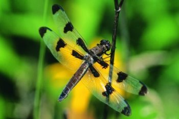 12-spot Skimmer Dragonfly